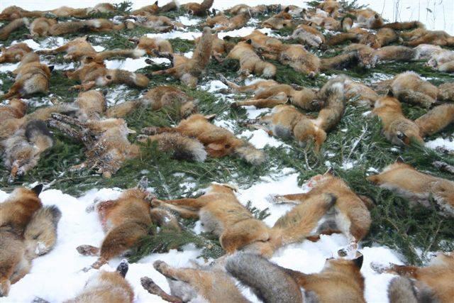 Fuchs anlocken